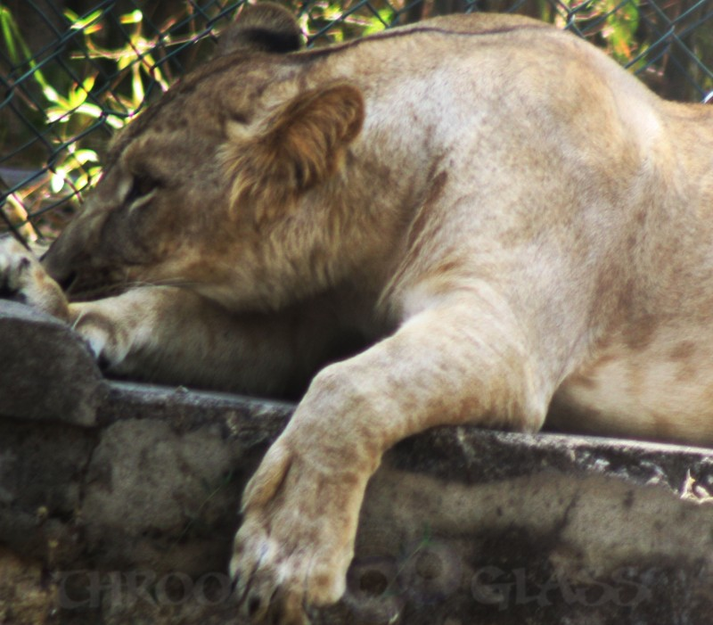wednesday,bannerghatta,lioness,critter,U,unspoken feelings,pravin,phenomenon,pm,throo da looking glass,bangalore blog.jpg,abc,wordless