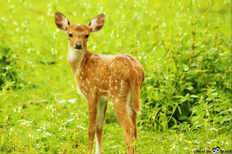 D, deer, wildlife,dear,critter,animals,bandipur,forest,jungle,free,roam,a-z,a2z,pravs,throo da looking glass, through the looking glass, bangalore blog, praveen