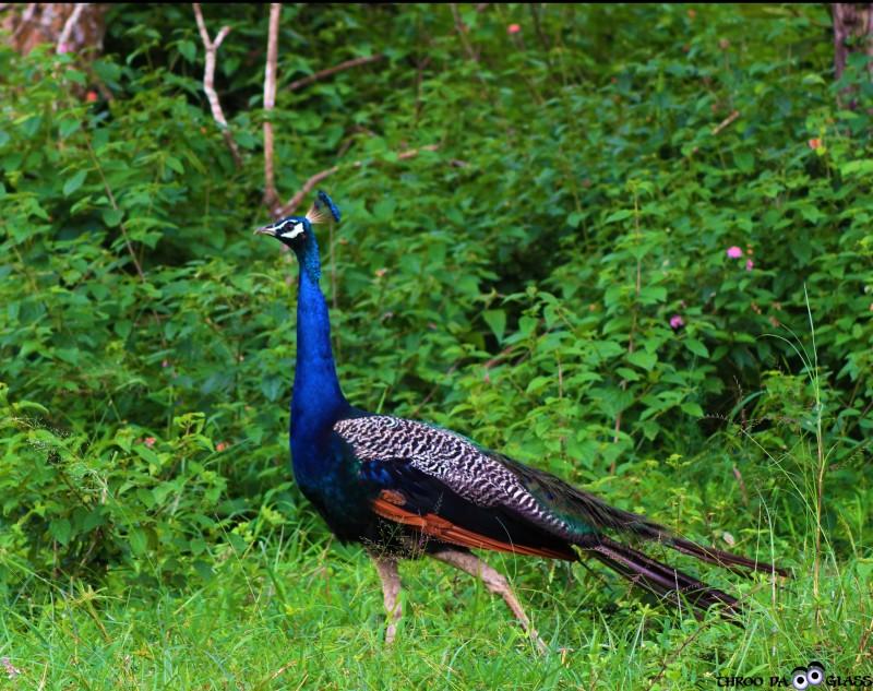 V, vanity, nature,critter,bird,peacock,wednesday,abc,wordless,praveen,karnataka,bangalore,throo da looking glass
